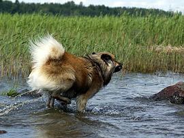 Eurasier Monty - action im Wasser