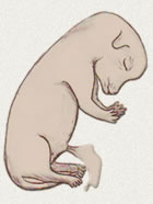 Fetus 35 Tage alt