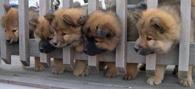 dunkelrote zunge hund